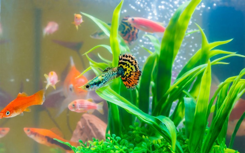 little-fish-in-fish-tank-or-aquarium--gold-fish--guppy-and-red-fish--fancy-carp-with-green-plant--underwater-life--1092909414-5c59c92bc9e77c000102d1b5